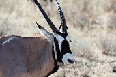 stock photo of antelope horn  - portrait of Gemsbok Oryx gazelladominant Gemsbok antelope in the park Kgalagadi South Africa - JPG