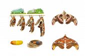 foto of creepy crawlies  - Male attacus atlas moth life cycle on white - JPG