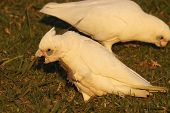 pic of cockatoos  - Little Corella cockatoos eating and walking on grass - JPG