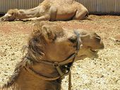 stock photo of dromedaries  - A portrait of a Arabian camel or Dromedary with a facial expression in Australia - JPG