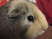 stock photo of pig  - portrait of a cute fluffy guinea pig - JPG