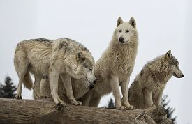 stock photo of packing  - Close up image of a grey wolf pack or timber wolf - JPG