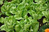 picture of gem  - Little Gem Romaine Lettuce in a garden - JPG