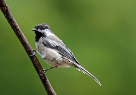 stock photo of chickadee  - A black capped chickadee (Poecile atricapillus) perching on a branch in summer ** Note: Visible grain at 100%, best at smaller sizes - JPG