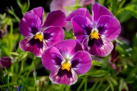 picture of viola  - Botanic gardening plant nature image: group of three bright violet pansy (viola tricolor Viola cornuta) closeup among green plants over blurred background.