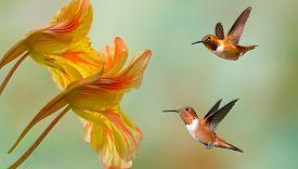 stock photo of hummingbirds  - Hummingbirds  - JPG