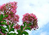 foto of crepe myrtle  - Image of pink crape myrtle tree in full bloom against a bright sky - JPG