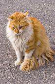 orange domestic cat poster
