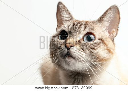 poster of Beautiful Portrait Of A Cat With Blue Eyes. The Cat Looks Up And Waits. Playful Cat Waiting For A To