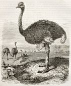 image of ostrich plumage  - Ostrich old illustration  - JPG