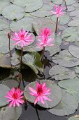 stock photo of hydrophytes  - Pink lotuses and green leaves on the water - JPG