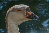 Portrait Of Chinese Goose Close Up Wildlife Wildlife poster
