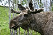 Closeup of a moose head