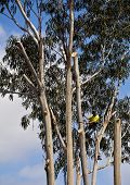 Arborist trimming branches from tall eucalyptus tree