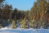 Young Pines Are Planted On The Place Of The Cut-down Old Wood. Large And Small Pines In Winter. Pine poster