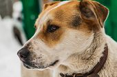 A Big Beautiful Mongrel Brown And White Dog With Brown Eyes In A Brown Leather Collar Guards The Yar poster