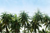 Blurred Coconut Tree Rows Background, Coconut Tree Picture Blur, Background Coconut Plantation poster