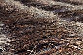 Sugar Cane Burn, Sugarcane Plantation Burn, Sugarcane, Sugar Cane Burned Cutting On Floor Field Plan poster