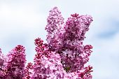 Blooming Lilac Bush In Spring Time. Blossoming Lilac Flowers. Flowering Lilac Bush In Latvia. Bloomi poster