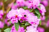 Bumblebee Flying And Collecting Nectar From The Blooming Pink Magenta Rhododendron Flowers, Woody Pl poster