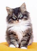 Pet Animal; Cute Cat Indoor. Cute Kitten Cat. poster