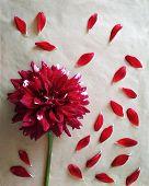 Pattern Of The Dahlia Petals. Dahlia Petals. Dark Red Color Of Dahlia Petals. Petals Form A Pattern. poster