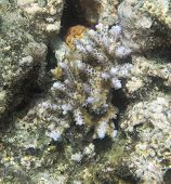 Acropora Coral In The Sea Of Togian Islands, Sulawesi poster