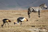 Animals 064 Grey Crowned Crane poster