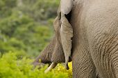 stock photo of gentle giant  - large male elephant reaching with its trunk for a delicate yellow flower - JPG