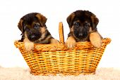 picture of alsatian  - German shepherd - JPG