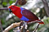 stock photo of polly  - Detailed image of Eclectus Parrot Female sitting on the tree branch - JPG