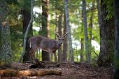 stock photo of bucks  - Large whitetail deer buck walking through the woods - JPG