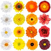 picture of zinnias  - Selection of Various White Yellow Orange Flowers Isolated on White Background - JPG