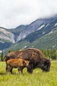 American Bison (Bison Bison) or Buffalo mother and calf eating grass in a field