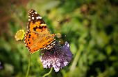 Furry Spotted Orange Spring Butterfly On Flowers And Green Vegetation poster