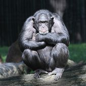 stock photo of primite  - Worried Chimpanzee - JPG