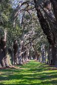 picture of old spanish trail  - LInes of old oak trees around a lane of green grass - JPG