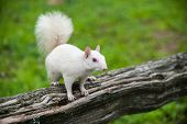 stock photo of albinos  - Rare white squirrel on a wooden fence in the city park in Olney Illinois one of the few places were a large number of them exist - JPG