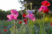 picture of opium  - Wild flowers - JPG