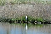 image of marshlands  - Snowy Egret is standing before the marshland - JPG