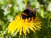 stock photo of humble  - Bumblebee is hard at work on the spring flower - JPG