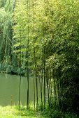pic of weeping willow tree  - A patch of Bamboo near a pond with a Weeping Willow tree in the background - JPG