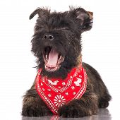 pic of hairy tongue  - adorable cairn terrier puppy dog on white - JPG
