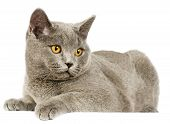 stock photo of portrait british shorthair cat  - Portrait of adorable gray British Shorthair cat on a white background - JPG