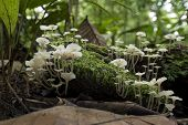image of gunung  - White Mushroom in the tropical rainforest of Borneo Malaysia - JPG