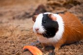 stock photo of hamster  - Hamster or guinea pig little pet rodent bicolore feels its food - JPG