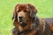 picture of tibetan  - Tibetan Mastiff at the dog show in the spring - JPG