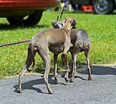 image of greyhounds  - Greyhound at a dog show in the spring - JPG