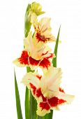 picture of gladiolus  - Beautiful fresh red and yellow gladiolus isolated on white background  - JPG