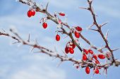 picture of barberry  - Branch of red berries barberry with spines on blue sky background - JPG